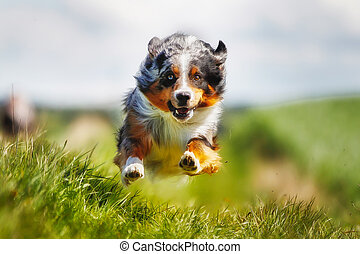 Running purebred dog - Shot of purebred dog. Taken outside...