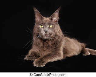 Purebred cat - Gray purebred maine coon cat looking at the...