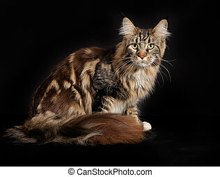 Purebred cat - Purebred maine coon cat looking towards...