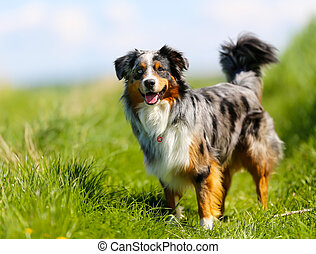 Purebred dog - Old brown, black and white border collie...