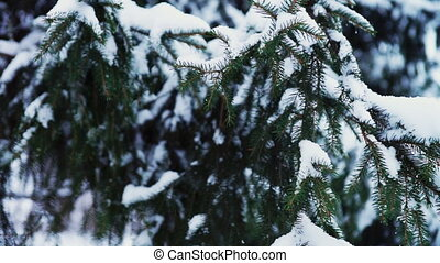 Green needles on fir tree branch - Close-up view at green...