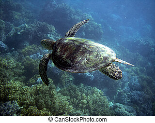 Sea Turtle in Great Barrier Reef - Australia