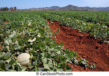 granja, plantación, Melones, campos