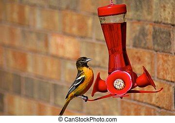 Oriole Bird - Oriole bird at bird feeder
