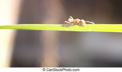 acro ant creeps on a green stalk of a grass - talk of a...