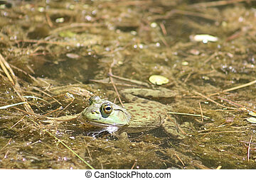 Northern Leopard Frog AM-