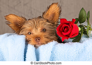 Tired cute little Yorkshire terrier resting on a soft blue...