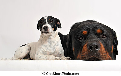 rottweiler and jack russel terrier - two friends dogs:...