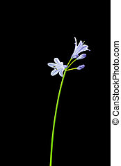 Agapanthus stem with purple flowers on black background -...