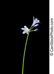 Agapanthus, tallo, púrpura, flores, negro, Plano de...