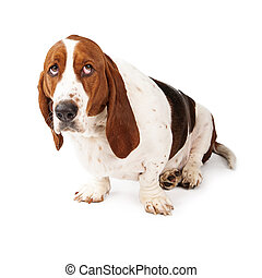 Guilty Looking Basset Hound - Basset Hound dog looking up...