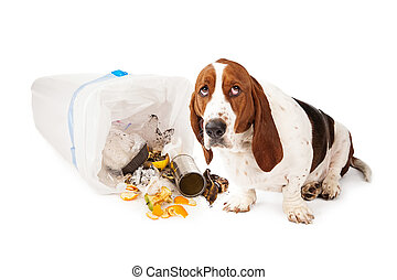 Bad Dog Getting Into Garbage - Basset Hound dog looking up...