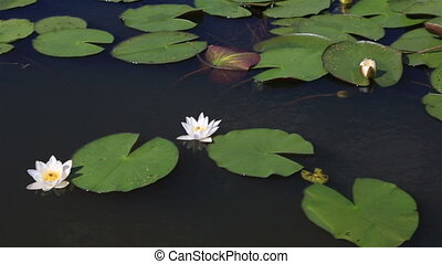 Beautiful water lily on the lake Manzherok Altai Krai Russia...