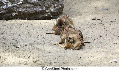 Funny family of meerkats with cubs