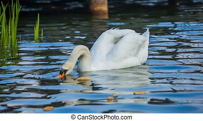 White swan is eating bread on the pond High quality video...