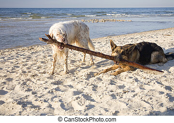 Lana and Gaspar - english setter and german shepherd on sand...