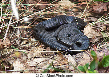 Venomous snake black forest viper - Venomous snake black...