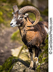 The mouflon (Ovis orientalis)