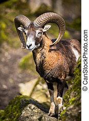 les, mouflon, (Ovis, orientalis)