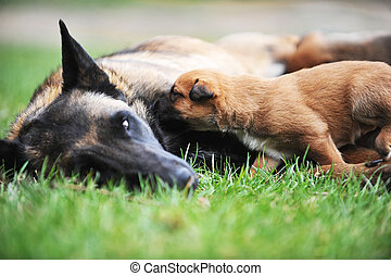 female dog with puppies - female dog of belgian shepherds...