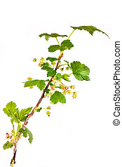 Branch of blackberry - Flowering blackberry, it is isolated...
