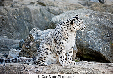snow leopard lat Panthera uncia sitting between rocks