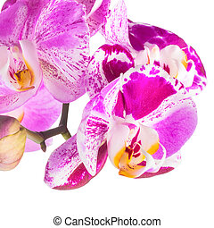 Blooming purple and white stripped flower orchid,...