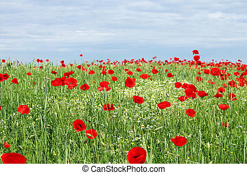 green field red poppy flowers and blue sky