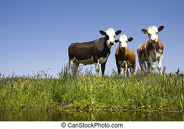 Dutch cows in the meadow