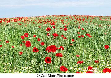 poppy flowers field landscape spring season