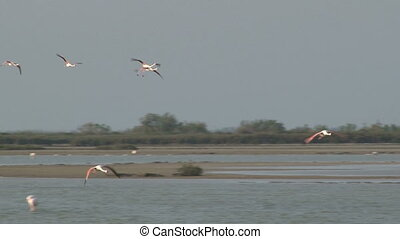 Greater Flamingo in flight - Greater Flamingo Phoenicopterus...