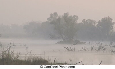 Greater Flamingo foraging in mist - Greater Flamingo...