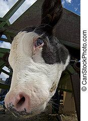 Cattle Branding Activities - Cattle Branding in Alberta. Cow...