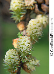 Larix - larch flower