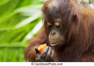 Borneo Orangutan - Orangutan in the jungle of Borneo,...