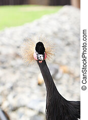 Beautiful crowned crane with blue eye and red wattle