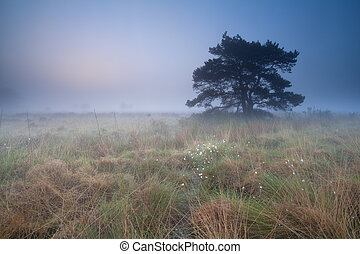 pine tree on marsh at misty sunrise