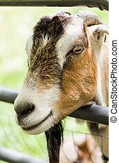 Goat farm - Milk goats at the small urban goat farm.