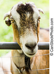 Goat farm - Milk goats at the small urban goat farm