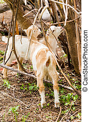 Goat farm - Baby goats at the small urban goat farm