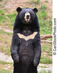 asiatic black bear or moon bear (ursus thibetanus)