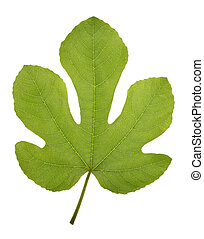 Fig leaf - Very high resolution texture of a fig green leaf