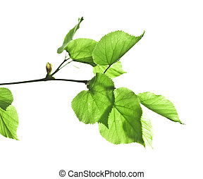 Branch of a linden with leaves on a white background