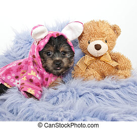 Bed Time Puppy - Yorkie puppy wearing bunny pjs laying on a...