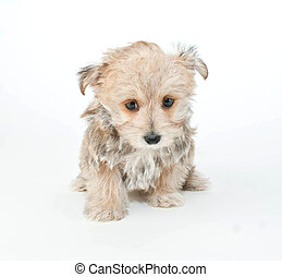 Im Sorry Puppy - Tiny puppy sitting on a white background...