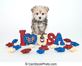 I Love USA Puppy - Morkie Puppy standing on a I love USA...