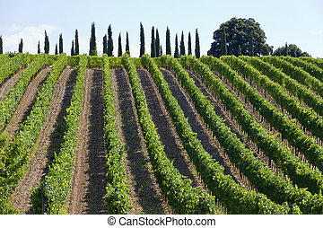Montalcino - Vineyards of Montalcino Siena, Tuscany, Italy...