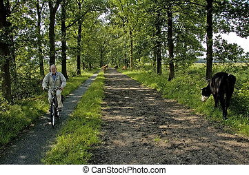 koeien lopen door het bos bij Wolfheze