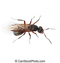 rojo, alado, hormiga, aislado, blanco