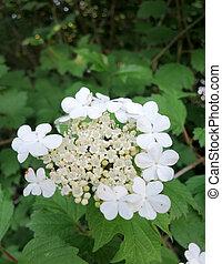 Guelder rose (Viburnum opulus) inflorescence